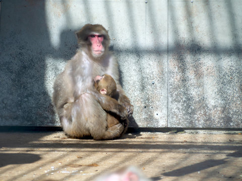 japanese macaque in zoo