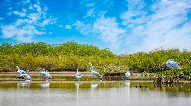 The group of Pink-backed Pelicans or Pelecanus rufescens is resting on the surface in the sea lagoon in Africa, Senegal. It is a wildlife photo of bird in wild nature