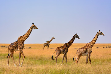 Giraffe family silhouette with a savannah background in Kenya. Wall mural