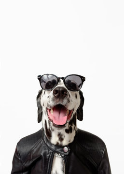 Dalmatian dog dressed up in black jacket with dark sunglasses sits on white background. Rocker dog. Сool biker dog. Copy space