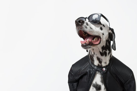 Dalmatian dog dressed up in black jacket with dark sunglasses isolated on white background. Rocker dog. Сool biker dog. Copy space