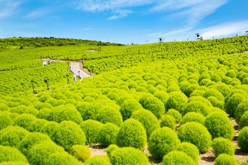 Summer cypress field in Hitachi seaside park