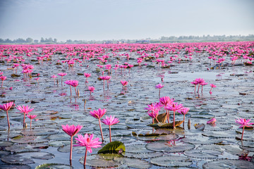 Red Lotus Lake in Udon Thani, Thailand