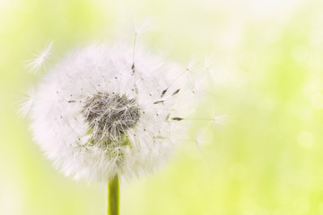 Foto op Canvas Paardenbloem Fluffy dandelion flower with flying feathers on sunny bokeh background. Beautiful spring or summer nature scene.