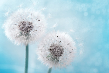 Foto op Canvas Paardenbloem Two dandelion flowers with flying feathers on blue bokeh background. Beautiful dreamy nature card.