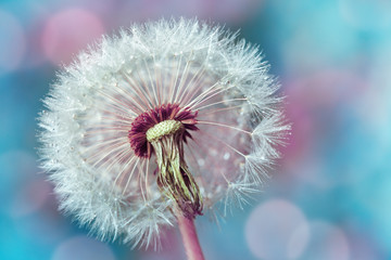 Macro shot of beautiful dandelion flower with water drops on turquoise colorful background. Spring or summer nature scene.