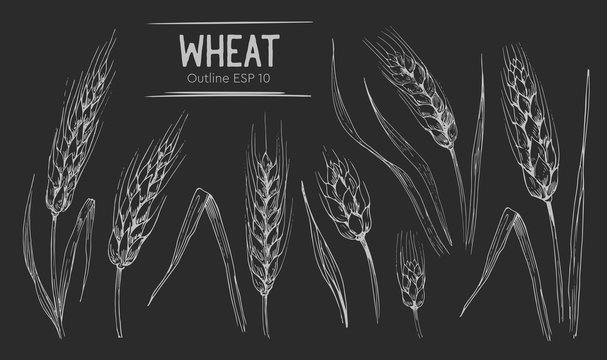 Wheat ears set. Hand drawn illustration.Ounline with transparent background.