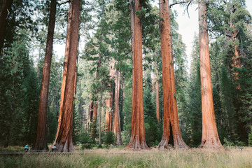 Giant sequoia trees in Sequoia National Park, California, USA Fotomurales