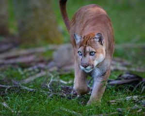 Garden Poster Puma Florida Panther, puma, or cougar, walks through the brush as it stalks its prey-Edit