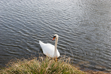 White swan swims near the shore in the lake