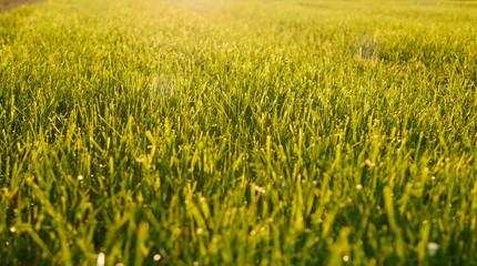 Green Grass Field Blooming in Spring Season