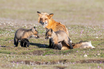 Red Fox Vixen with Two Kits