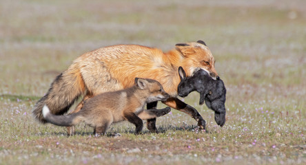 Red Fox and Kit with Rabbit