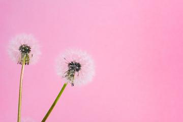 Dandelion flowers on pink background