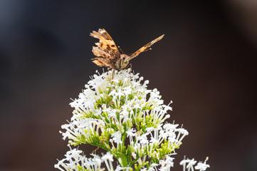 Ein Schmetterling auf einer weißen Blüte