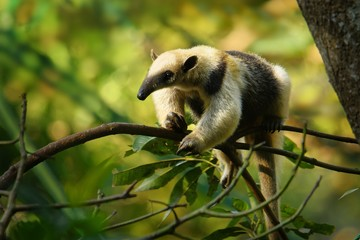 Northern Tamandua - Tamandua mexicana species of anteater, tropical and subtropical forests Fototapete