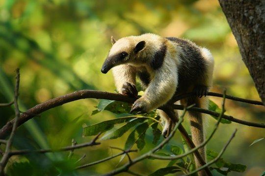 Northern Tamandua - Tamandua mexicana species of anteater, tropical and subtropical forests