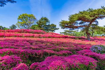 静岡県伊東市 小室山公園のツツジ