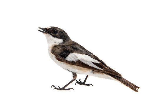 Pied Flycatcher, Ficedula hypoleuca, Male. Isolated on white background.