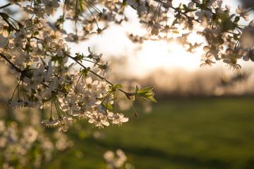 Abendsonne hinter einem blühenden Kirschbaum