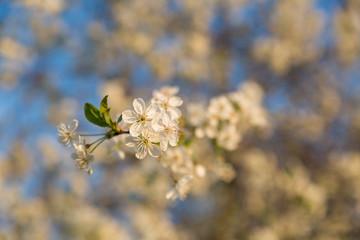 Baumblüte vor blauem Himmel
