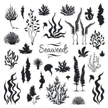 Seaweeds silhouettes. Underwater coral reef, hand drawn sea kelp plant, isolated marine weeds outdoor ocean. Vector set sketch aquarium seaweeds