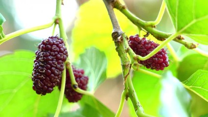 Fototapete - Selective focus ripe mulberries fruit swaying in the wind