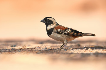 Male cape sparrow, Passer melanurus.