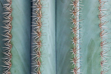 Spoed Foto op Canvas Cactus close up of big thorns on cactus plant