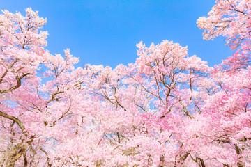 Foto op Canvas Kersenbloesem ピンクの桜の花(高遠桜)