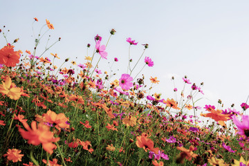 Dries of cosmos in field.