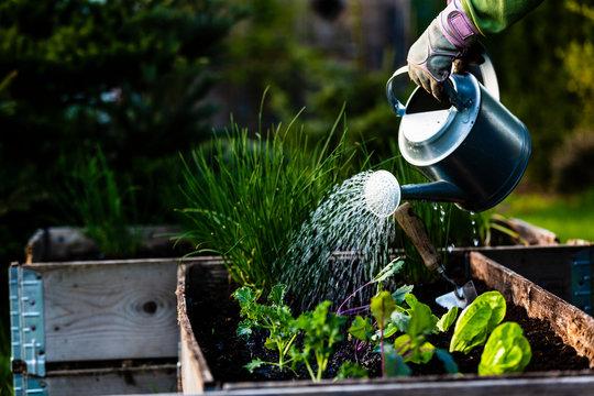 Backyard outdoor portrait of a woman gardener hands planting letuce in vegetable garden.
