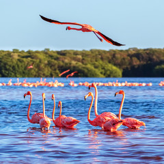 Aluminium Prints Flamingo Many pink beautiful flamingos in a beautiful blue lagoon. Mexico. Celestun national park. Square image.