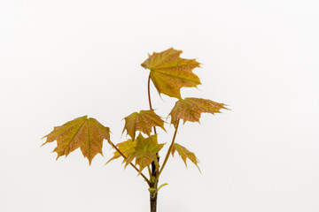 Green and orange maple leaves on white backgound