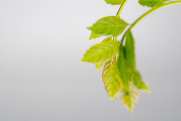 Green leaves on white backgound