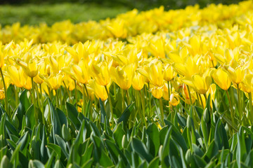 Wall Mural - Yellow tulips bloomed
