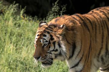 Poster de jardin Tigre tiger resting in a zoo in italy