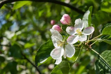 Spring white flowering apple tree branch in the garden. Selective focus