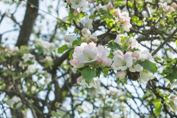 Spring white flowering apple tree in the garden. Selective focus