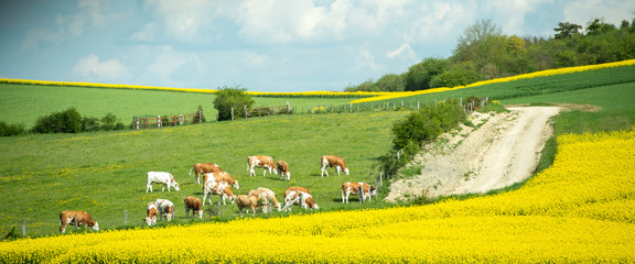 large group of healthy beautiful cows grazing fresh grass on the fields and hills of French village near beautiful vibrant raps field in bloom bio organic. Fotoväggar