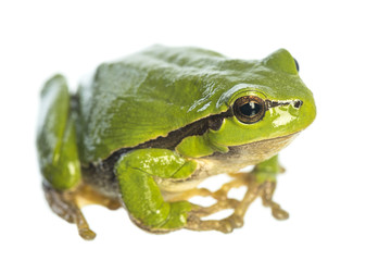 European tree frog (Hyla arborea) sitting on white background