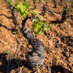 cep de vigne au printemps