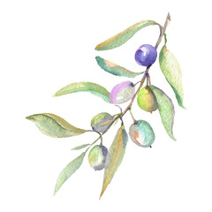 Olive branch with green fruit. Watercolor background illustration set. Isolated olives illustration element.