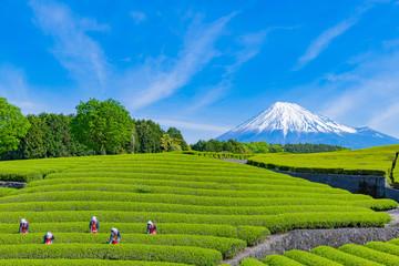 静岡県富士市 大淵笹場の茶畑 お茶まつり