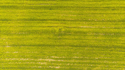 Yellow rape field at early spring, aerial view, drone photo Fototapete