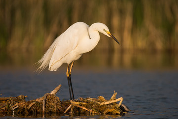Great white heron (Ardea alba)