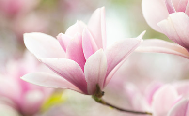Photo sur Aluminium Magnolia Flower Magnolia flowering against a background of flowers.