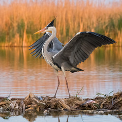 Grey heron (ardea cinerea) in natural habitat.