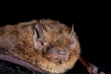 European bat the Nathusius' pipistrelle (Pipistrellus nathusii) on a black background