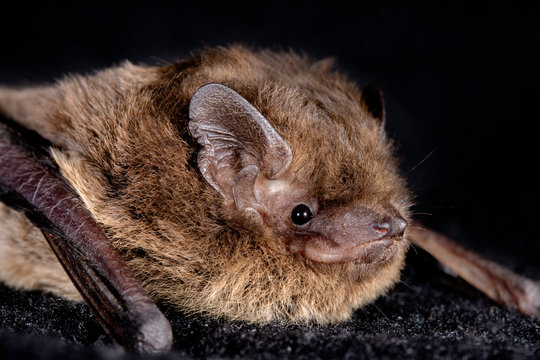 European bat the Nathusius' pipistrelle (Pipistrellus nathusii) on a black background